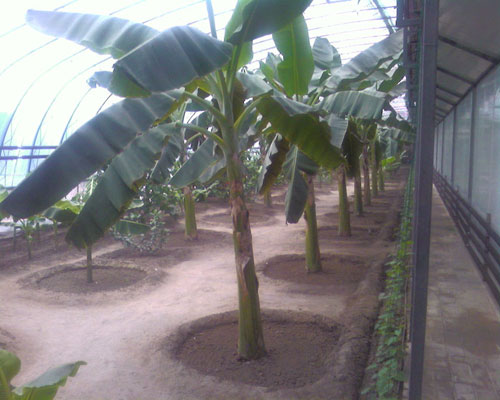 香蕉树图片大全大图; 排排香蕉树; 植物-水果;