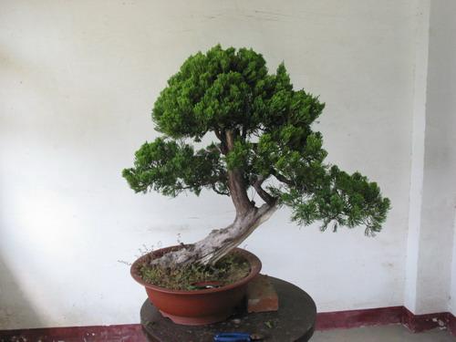 植物-树-柏树