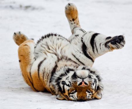 双语推荐:冰天雪地中的动物们(组图)