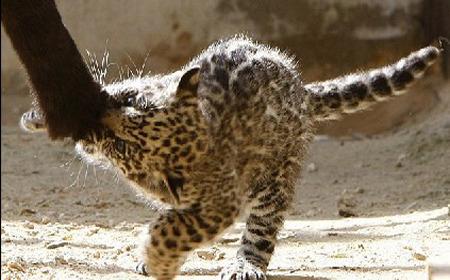 小美洲虎和妈妈形影不离