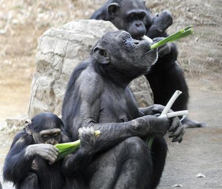 趣图:动物园里黑猩猩吃大葱