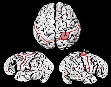 爱因斯坦大脑结构图-科学家在爱因斯坦大脑中发现罕见结构