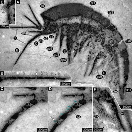 澄江动物化石群中节肢动物林乔利虫幼虫大附肢上的一系列细微刚毛