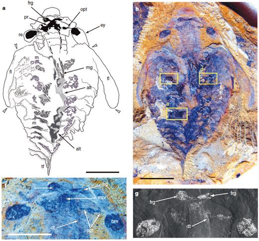 unquispinus的前脑(protocerebrum,与视觉神经系统相连)之前还存在一